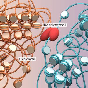 Heterochromatin and Euchromatin